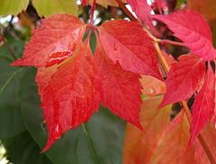 Ah ! Ces couleurs ! ... Et ces larmes ! (anne arnould) Tags: autumn red france nature leaves rain countryside leaf waterdrop drop droplet