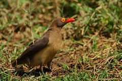 Lookin' to hitch a ride! (Rainbirder) Tags: kenya lakenakuru redbilledoxpecker buphaguserythrorhynchus rainbirder