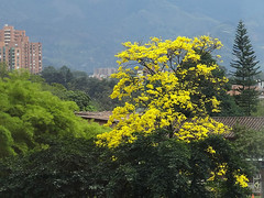 Tabebuia Chrysantha (Boris Forero) Tags: tree yellow arbol colombia amarillo rbol boris medelln guayacan guayacn chrysantha forero tabebuya