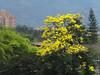 Tabebuia Chrysantha (Boris Forero) Tags: tree yellow arbol colombia amarillo árbol boris medellín guayacan guayacán chrysantha forero tabebuya