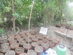 Small Plants (safwansh) Tags: pakistan birds education aves foundation ficus habitat biodiversity safwan kasur treesplantation