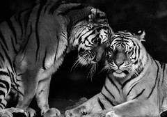 Tiger Affection (Eve'sNature) Tags: cats nature animals feline stripes wildlife tigers amur flickrbigcats vision:outdoor=0587