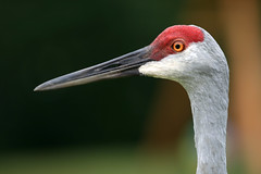 "Sandhill Crane Head • <a style=""font-size:0.8em;"" href=""http://www.flickr.com/photos/30765416@N06/11393218805/"" target=""_blank"">View on Flickr</a>"
