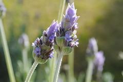 Lavanda (Carol.16) Tags: flores flower nikon flor lila lavanda d3000