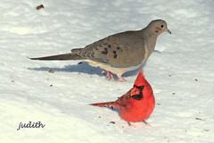 winter diners (judecat (getting back to nature)) Tags: snow nature birds cardinal wildlife mourningdove pennsylvaniawildlife