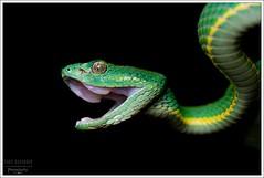 Bothriechis lateralis (Thor Hakonsen) Tags: snake reptilia huggorm hoggorm serpentes viperidae slange bothriechislateralis viperinae palmviper lanseslange sidestripedpitviper