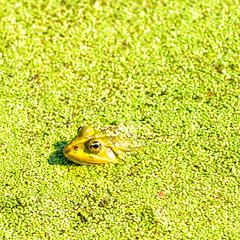 Quak (blichb) Tags: france frankreich frog normandie grün frosch etretat hautenormandie 2013 cotedalbatre alabasterküste canon6d lapoteriecapdantifer mygearandme mygearandmepremium blichb