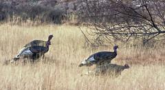 Wild Turkeys (Meleagris gallopavo); Sandia Pueblo Lands, NM Rte. 313, Sandoval Cty., New Mexico [Lou Feltz] (deserttoad) Tags: bird nature turkey indian pueblo behavior reservation wildbird
