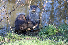he's seen us (martynb1) Tags: two wet water grass mouth fur eyes looking hose heads otter otters hidding