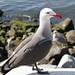 Gull: Seaport Village, San Diego, CA