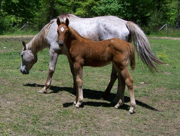 The World's most recently posted photos of appaloosa and sale