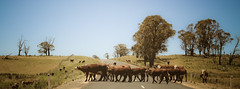 a mob on thunderbolts way (badskirt) Tags: road landscape cattle cows australia mob nsw herd thunderboltsway badskirt