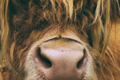 Highlander (Ruairidh an Dorcha) Tags: newzealand scottish bull highland steer hawkesbay kyloe haumoana vsco vscofilm farmyardzoo bghidhealach