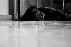 Kalam (Campanero Rumbero) Tags: dog pet black home animal casa labrador negro perro canino mirada mascota republicadominicana santodomingo hogar