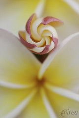 generations (_aires_) Tags: iris flower macro spiral plumeria bokeh aires 100mm frangipani bud pinwheel espiral suche limaperu 50d ires imagepoetry canonef100mmf28macrousm canoneos50d infinestyle floralessence fleursetpaysages