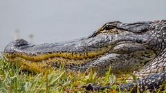 My What Big Teeth... (DonMiller_ToGo) Tags: nature yellow catchycolors eyes wildlife teeth gators aligator closeups gf1 wildflorida views100 venicerookery