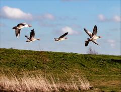 X-Birds (Emil de Jong - Kijklens) Tags: birds geese vogels goose gans ganzen vogel heerhugowaard trekvogels