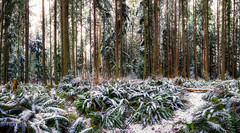 Fresh Snow in the Forest by Michael Matti (Michael Matti) Tags: trees winter panorama snow nature forest outdoors washington woods pacific northwest path panoramic hike fresh trail snowfall lynnwood forests lynndale