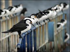 A row of Cormorants (beninfreo) Tags: bird harbour flock perch fremantle westernaustralia seabird australianpiedcormorant canon5d3