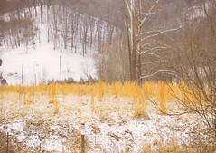 Tranquility (TheLightPerspective) Tags: trees winter snow cold nature yellow landscape weeds grain meadow peaceful calm tranquil nex sonynex nex6 sonynex6