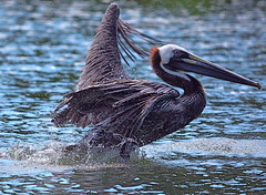 Brown Pelican (Aliparis) Tags: bird nature water nikon wildlife naturallight waterdrops brownpelican naturallightphotography nikon55300mm nikond7100