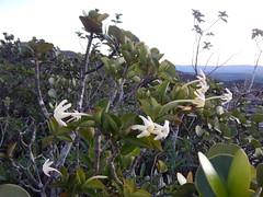 Hilia parasitica (Matt Lavin) Tags: brazil flower habit bahia lençóis chapadadiamantina rubiaceae morrodopaiinácio lenis hiliaparasitica