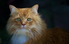 Amadeus FD-sml (salar hassani) Tags: light red orange cat canon ginger day natural sony maine coon amadeus f4 fd 70210mm a7r