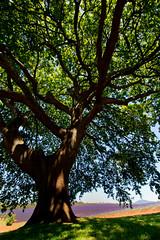 softer than shadow (keith midson) Tags: summer tree canon shadows estate lavender shade tasmania canopy bridestowe
