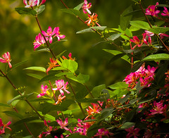 Honeysuckle (mahar15) Tags: pink flowers nature spring bush blossoms honeysuckle blooms shrub honeysucklebush honeysuckleflowers