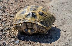 Horsfield's (or Russian) tortoise in the taukum desert,  kazakhstan 2 (Russell Scott Images) Tags: reptile kazakhstan russiantortoise agrionemyshorsfieldii centralasiantortoise horsfieldstortoise taukumdesert