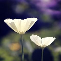 white2summerpoppies (C-Smooth) Tags: flowers summer white macro nature garden dof background poppy poppies colourful californian papaveri pavot csmooth stefanocabello
