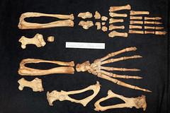 Common Seal Skeleton (JRochester) Tags: skeleton foot seal bone femur tibia common ankle limb hind pelvis fibula phoca vitulina tarsals osteology
