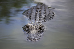 Watching the watchers (DFChurch) Tags: nature animal florida reptile alligator american everglades predator sharkvalley