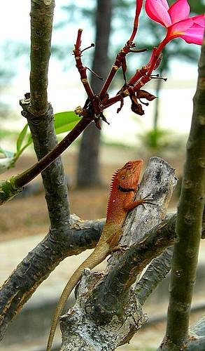 Lizard Thailand