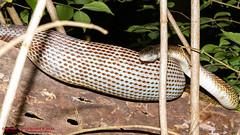 Snake #2 had just had dinner! (Rat Snake?) (mikerhicks) Tags: usa geotagged unitedstates nashville hiking reptile snake tennessee wildlife percywarnerpark warnerparks canon7d nashvillehikingmeetup vaughnsgap sigma18250mmf3563dcmacrooshsm geo:lat=3607551179 geo:lon=8687810090