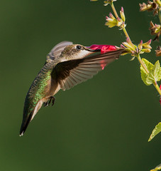 Hummingbird (snooker2009) Tags: bird nature hummingbird wildlife flight ruby migration hummer throated dailynaturetnc13