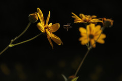 3528-2016-BR (elfer) Tags: flores girasol amarillo insectos abejas rivasvaciamadrid madrid espaa
