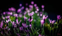 Lavender (eggwah123) Tags: lavender flower purple garden closeup backlight bokeh dof depthoffield colour outdoor sony sonya7 bokina macro tokina tokina90mmf25 oldlens oldmacrolens manualfocus legacylens adaptedlens mirrorless ff fullframe