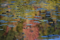 Water Lilies (Bad Alley) Tags: brickworks pond wetland waterlilies lilypads reflection