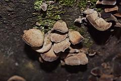 DSC_2626 (Luciano Felipe) Tags: fungo cogumelo fungus mushroom