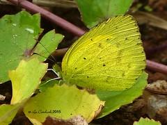Grass yellow (LPJC) Tags: munnar kerala india 2015 lpjc grassyellow butterfly