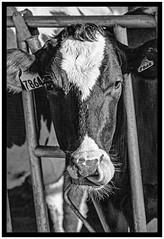 A_cow_thing_borders.jpg (UWMadisonCALS) Tags: holstein marshfieldars tongue headgate eyes ear eartag bw nose dairycows blackwhite
