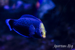 Coris formosa (AquariumBlog.es) Tags: acuario aquarium peces fish pez marino saltwater water freshwater dulce agua corales payaso clown sepia acantharus pterois pomacanthus barcelona arrecife reef