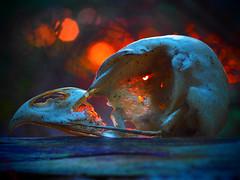 Owl Skull (Robert Anscombe) Tags: owl skull backlit macromonday