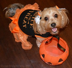 The Sweetest Trick or Treater (yourdesignerdog) Tags: ifttt wordpress all posts wordless wednesday blog cute designer dogs dog costume dress smiling halloween jackolantern pets photography trick or treat