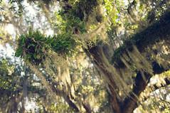 Audubon Park (Ray Devlin) Tags: uptown new orleans audubon park audubonpark live oak spanish moss trees nikon d300