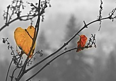The Last Leaves - (ikan1711) Tags: thelastleaves tree lilactree leaves drops raindrops shrubs fallleaves fall fallfoliage waterdrops balcony balconies barebranches rain rainyday wind windstorms outdoors storms
