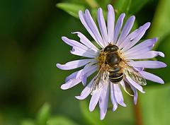 Michaelmas Hoverfly (Oldt1mer - Keith) Tags: flower hoverfly dronefly european eristalisinterruptus eristalisnemorum michaelmasdaisy asteramellus detail macro platinumheartaward