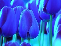 IMG_3198 (johnspaargaren) Tags: tulip tulp