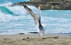 Landing on the Beach (Ssusanne) Tags: seagull gull bird menorca minorca beach sea seashore animal landing wings möwe seemöwe vogel strand landung flügel